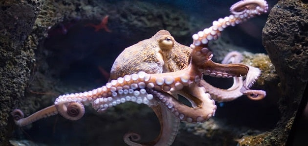 تعد الاسفنجيات من الحيوانات المائية التي تعيش داخل البحار والمياه العذبة قد يجهل كثير منا هذا النوع من الحيوانات وقد يظن البعض من أنه نوع من أنواع النباتات بسبب الشكل الذي يتشابه مع الشكل الاسفنجي فتم تسمية الحيوان بهذا الاسم لهذا السبب كما ان هذا النوع من الحيوانات، يتشابه بشكل كبير جداً بأنه ثابت غير متحرك فيشبه النبات في هذا الشيء حيث أن النباتات بالرغم من انها كائن حي إلا انه يتسم بالثبات في المكان وتكوين غذائه بنفسه ليس كمثل باقي الكائنات الحية، لا يتسم حيوان الاسفنجيات بشكل واحد أو لون واحد فقط بل يمتاز بعدد كبير جداً من الأنواع المختلفة لنفس الحيوان. الأماكن التي تعيش بها الاسفنجيات تعيش الاسفنجيات في البحار والمياه العذبة، حيث أن العدد الأكبر يعيش داخل البحار بسبب حاجته إلى المياه المالحة كما أن يوجد نسبة منه تصل إلى 3 في المئة تعيش في المياه العذبة ولا تستطيع العيش في مياه البحار. تنتشر هذه الحيوانات في البحار من أسطح المد والجزر وتكون لها جذور طويلة متعمقة في البحار التي تعيش فيه تصل إلى 5000 ميل، ويعتبر هذا هو السبب الرئيسي في ثبات هذا الحيوان وعدم تحركه من مكانه لما له من جذور طويلة جداً يصعب الحركة بها. أنواع الاسفنجيات يتكون هذا الحيوان من ثلاث أنواع مختلفة على عكس الحيوانات الأخرى التي تحمل نفس الشكل والهيكل ولكن لا تختلف سوى في أن أحدهم انثى والأخرى ذكر ولكن في هذا الحيوان الأمر مختلف حيث يتكون من ثلاثة اشكال وأنواع مختلفة. الاسفنجيات الزجاجية: يتكون هذا النوع الأول من الاسفنجيات من هيكل قوي وقد يختلف هذا الأمر عن غيره من الأنواع الأخرى التي تفتقر وجود مثل هذا الهيكل او وجود هيكل من الأساس كما يحتوي هذا الهيكل على شويكات هشة بالرغم من أن الهيكل التي يخرج منه تلك الشويكات يتسم بالقوة، هذه الاسفنجيات تأخذ شكلاً زجاجياً مصنوعة من السيليكا. الاسفنجيات الشائعة: سميت بهذا الاسم حيث انها تمثل العدد الأكبر من الحيوانات الاسفنجية، لذلك تعتبر هي الأكثر شيوعاً بين الحيوانات الاسفنجية كما انها تتميز بألوان حيوية مختلفة الألوان والأشكال ليس هذا فقط، بل انها تنتشر فروعها بين الأنواع الأخرى وتصبح طاغية على الأنواع الأخرى حيث تمثل نسبة 90 في المئة من الاسفنجيات. الاسفنجيات الكلسية: يعتبر هذا النوع من الاسفنجيات هو الأصغر بينهم وبالرغم من صغره إلا أنه يمتلك شويكات قو