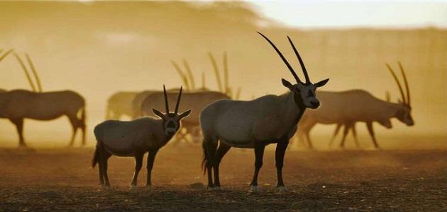 بحث عن الحيوانات المهددة بالانقراض في المملكة والجهود المبذولة للحفاظ عليها