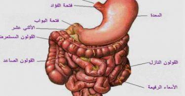 بحث عن الجهاز الهضمي للإنسان