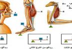 بحث عن انواع الروافع في جسم الإنسان